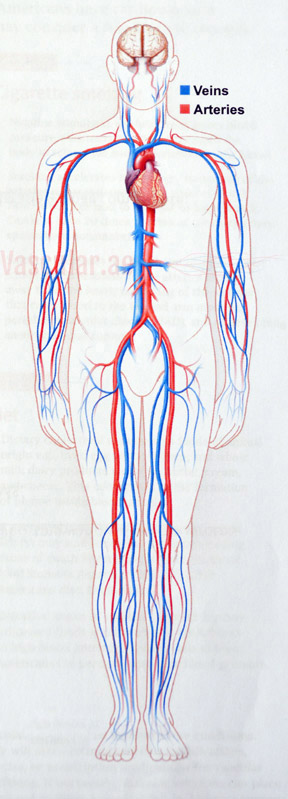 Your Vascular System